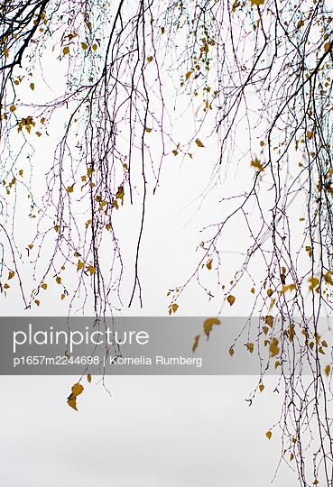 Zweige einer Birke - p1657m2244698 von Kornelia Rumberg
