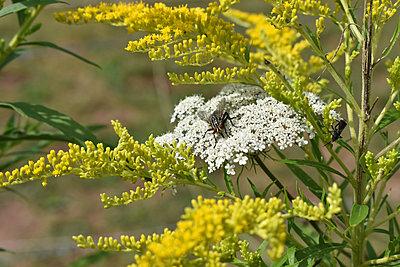 Fliege auf weiße Pflanze - p1210m2110986 von Ono Ludwig