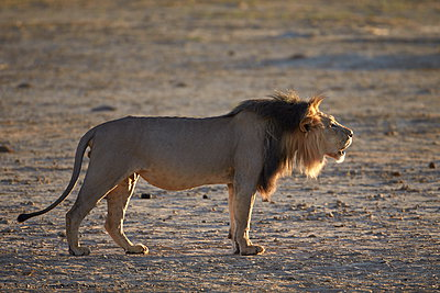 Lion (Panthera leo) roaring, Kgalagadi Transfrontier Park, encompassing the former Kalahari Gemsbok National Park, South Africa, Africa - p871m898454f by James Hager