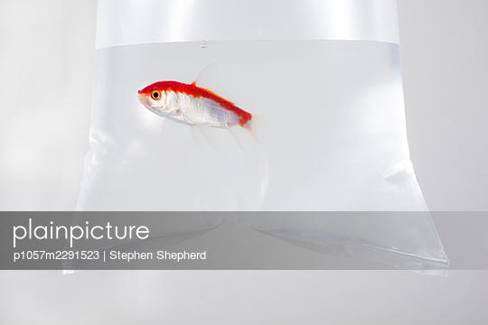 Goldfisch in einer Tüte - p1057m2291523 von Stephen Shepherd