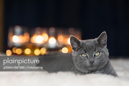 Portrait of Chartreux kitten lying on fur - p300m1567985 by Fotofeeling