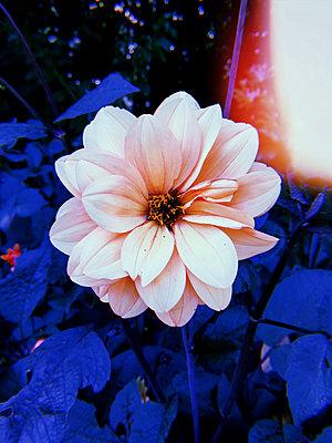 Pink flower - p1189m2263799 by Adnan Arnaout