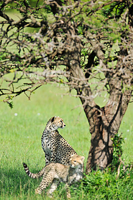 Cheetah with young - p533m1134233 by Böhm Monika