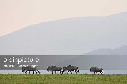 Four blue wildebeest (brindled gnu) (Connochaetes taurinus), Serengeti National Park, Tanzania, East Africa, Africa - p8712481 by James Hager