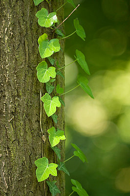 Oak tree and ivy - p1781115 by owi