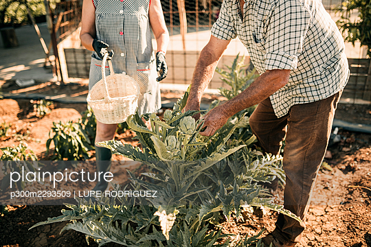 Senior agricultural coworkers harvesting vegetable at farm - p300m2293509 by LUPE RODRIGUEZ