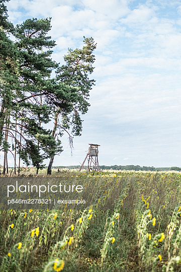 Germany, Brandenburg, Sunflower field and raised hide - p846m2278321 by exsample