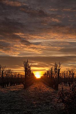 Vineyard at sunrise - p1402m2195790 by Jerome Paressant