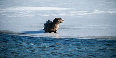 North American river otter  on frozen Eyak Lake near Cordova and Prince William Sound, Alaska in winter; Alaska, United States of America - p442m1216455 by Thomas Kline