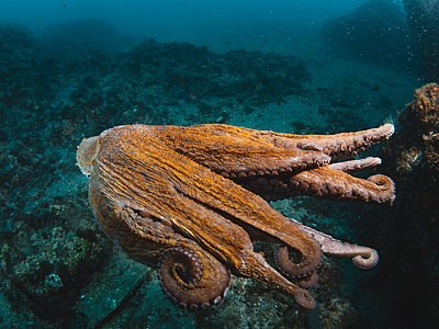 Octopus vulgaris - p1166m2130274 by Cavan Images