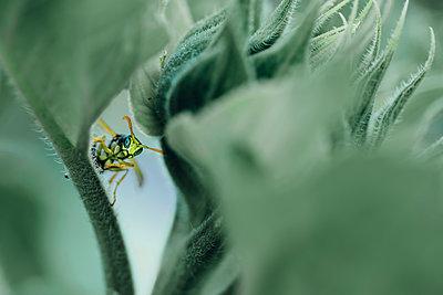Male paper wasp on sunflower leaf - p300m2005489 von Jana Mänz