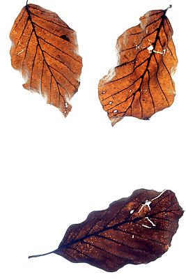 Drei Blätter  - p450m1040547 von Hanka Steidle