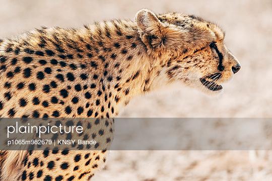 Porträt eines Geparden, Kalahari, Südafrika - p1065m982679 von KNSY Bande
