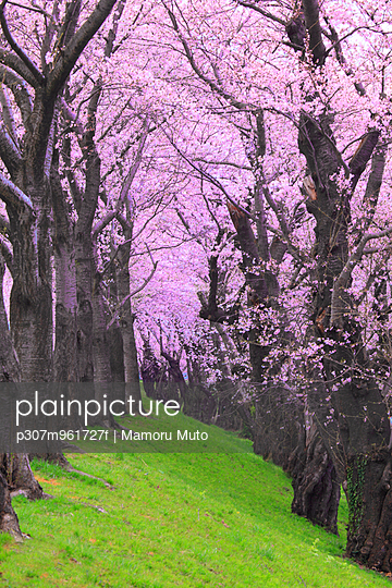 Cherry blossoms - p307m961727f by Mamoru Muto