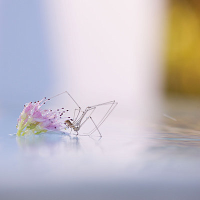 Spider stepping from flower to surface of water - p624m1045700f by Odilon Dimier