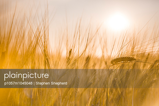 Barley with sunset - p1057m1045048 by Stephen Shepherd