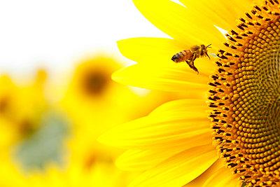 Sunflower - p307m974189f by Tetsuya Tanooka