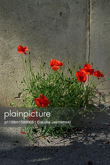Klatschmohn  - p1199m1589065 von Claudia Jestremski