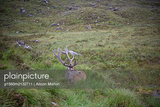 Stag at rest - p1560m2132711 by Alison Morton