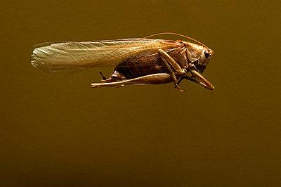 Insektenkunde, einzelne Heuschrecke - p1629m2211348 von martinameier
