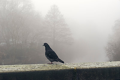 Single dove perched on wall in the fog - p1696m2296548 by Alexander Schönberg