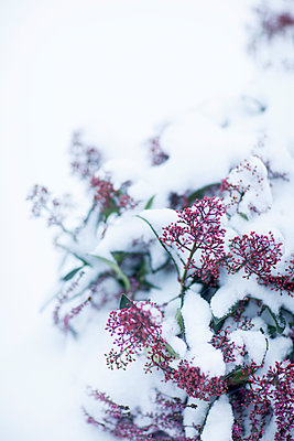 Pink buds covered by snow - p312m1113729f by Malcolm Hanes