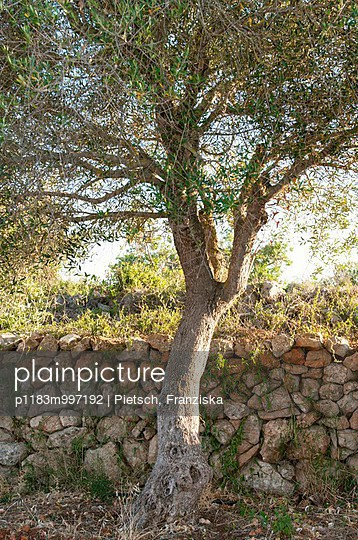 Olive tree in front of traditional stone wall on Mallorca - p1183m997192 by Pietsch, Franziska