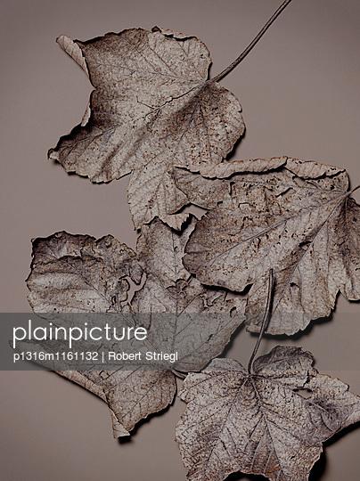 Herbstblätter von einem Ahornbaum, Herbst, Blätter, Natur - p1316m1161132 von Robert Striegl