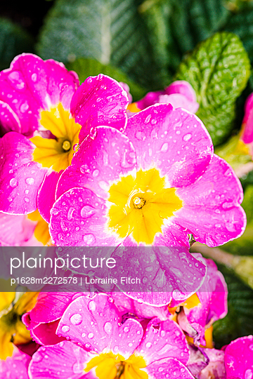 Pink flowers with water droplets - p1628m2272578 by Lorraine Fitch