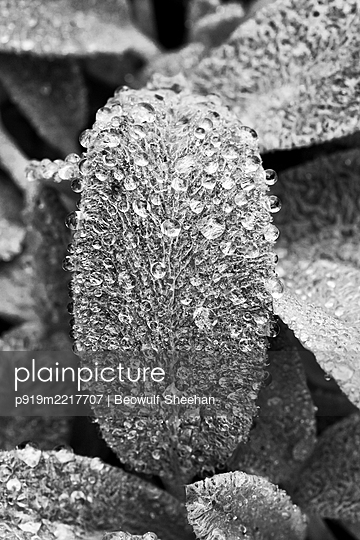 Lamb ear plant with raindrops - p919m2217707 by Beowulf Sheehan