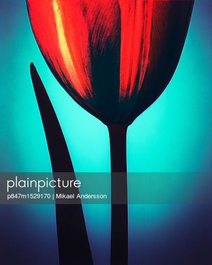 Tulip On Blue Background  - p847m1529170 by Mikael Andersson
