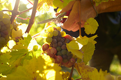 Grape harvest - p1145m951120 by Kerstin Lakeberg