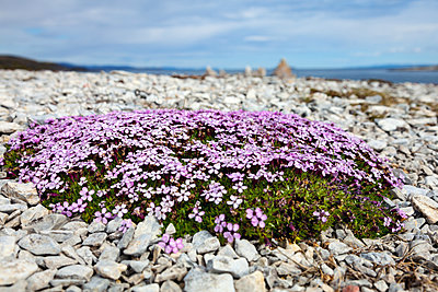 Moss blooming on rocky shore - p1168m1043204 by Thomas Günther