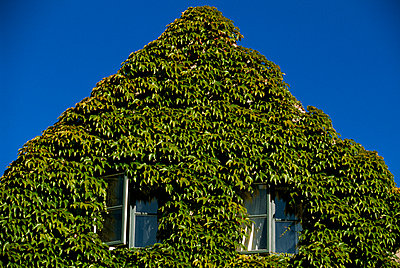 House covered by ivy towards a blue sky Denmark - p5752328f by Staffan Widstrand