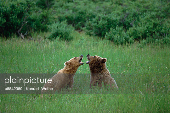 Grizzly Bear two bears play-fighting - p8842380 by Konrad Wothe