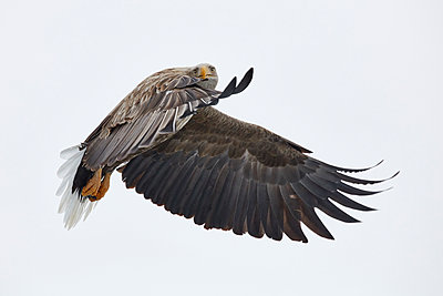White-Tailed Eagle, Haliaeetus albicilla, mid-air, winter. - p1100m1520161 by Mint Images