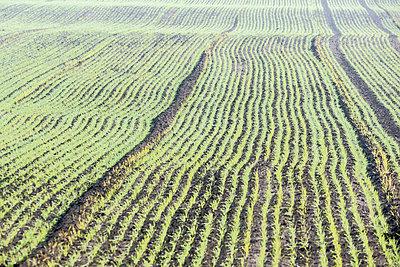Feld mit Wintergetreide - p739m1191016 von Baertels