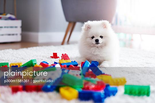 Portrait of white puppy on carpet with toy bricks - p300m1581361 von gpointstudio