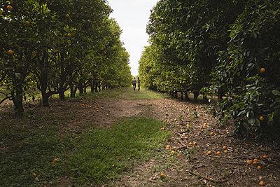 Rear view of farmers walking in the orange farm - p1315m1565831 by Wavebreak