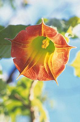 Trumpet shaped orange flower of a Bignonia campsis  - p3490437 by Jan Baldwin