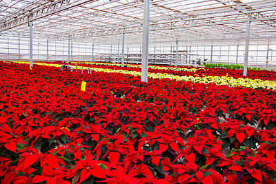 Rows of multi-coloured poinsettias that were grown in a greenhouse operation nearing the Christmas season; St. Albert, Alberta, Canada - p442m2004079 by LJM Photo