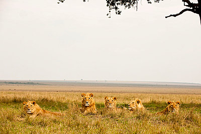 Lions in Kenya - p5330362 by Böhm Monika