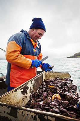 A fisherman working on a boat deck, sorting out oysters and other shellfish. Traditional sustainable oyster fishing on the River Fal.  - p1100m1216024 by Mint Images