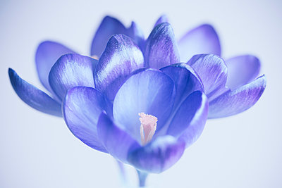 Close up of purple crocus flowers with a blurred background - p1302m2063615 by Richard Nixon