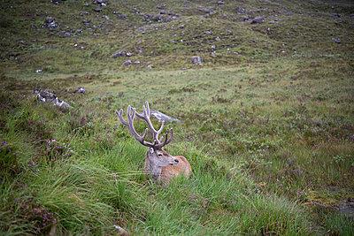 Hirsch in den Highlands - p1560m2132711 von Alison Morton