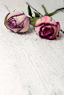 Vertrocknete Rosen - p451m972666 von Anja Weber-Decker