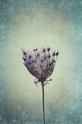 Hogweed - p5770492 by Mihaela Ninic