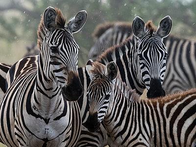 Plains zebras (Equus quagga) under the rain, Seronera, Serengeti National Park, Tanzania, East Africa, Africa - p871m2022928 by Sergio Pitamitz