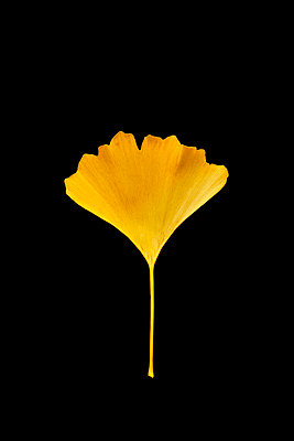 withered gingko leave - p876m2187332 by ganguin