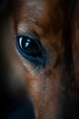 Close-up of dachshund dogs eye - p1047m2008453 by Sally Mundy